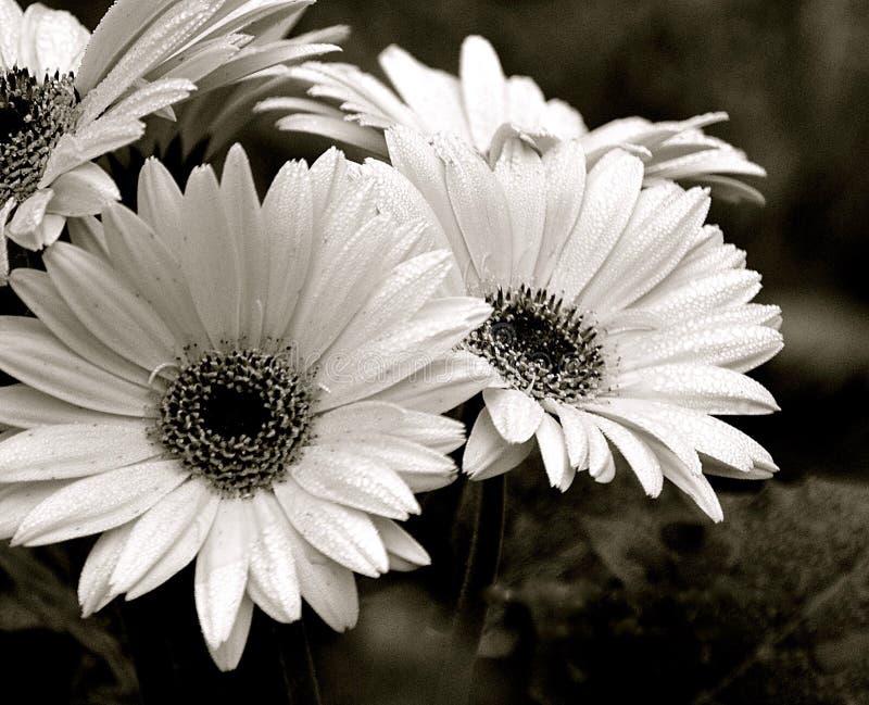 Маргаритки Gerbera вверх закрывают в черной & белом стоковая фотография rf