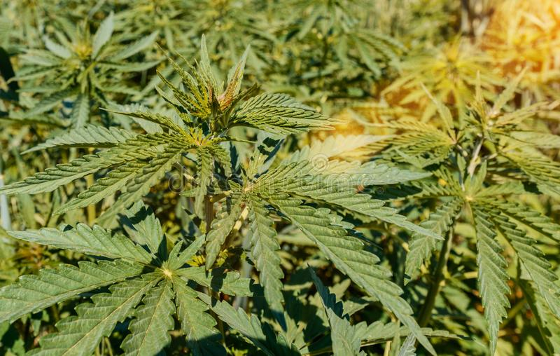 Конопля в открытом поле что грозит за курение конопли