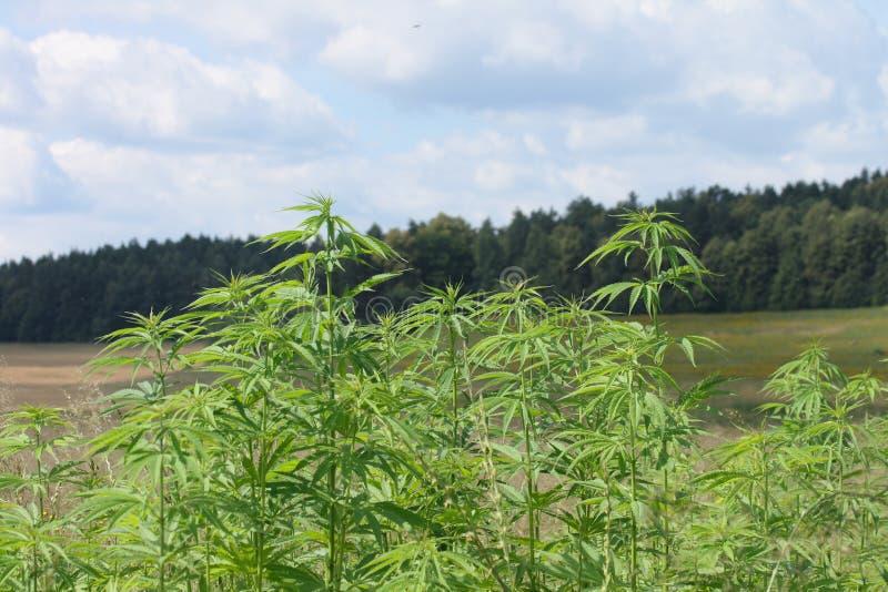 марихуана поля стоковое фото rf
