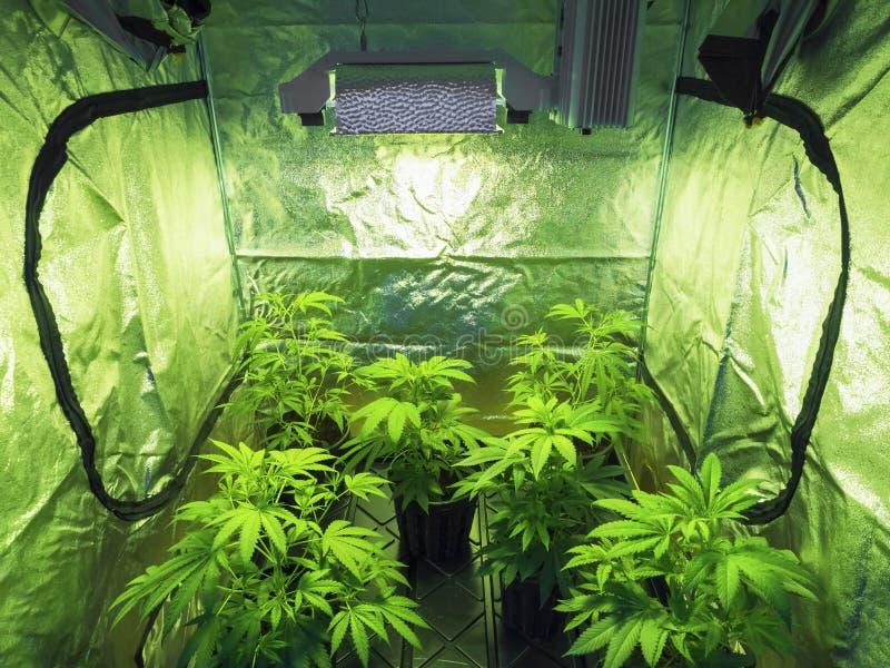 марихуана стоковая фотография