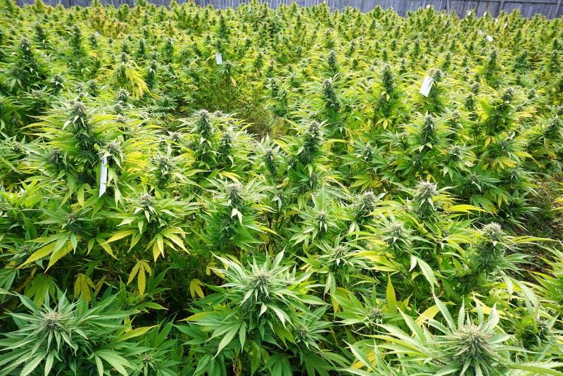 марихуана стоковое фото