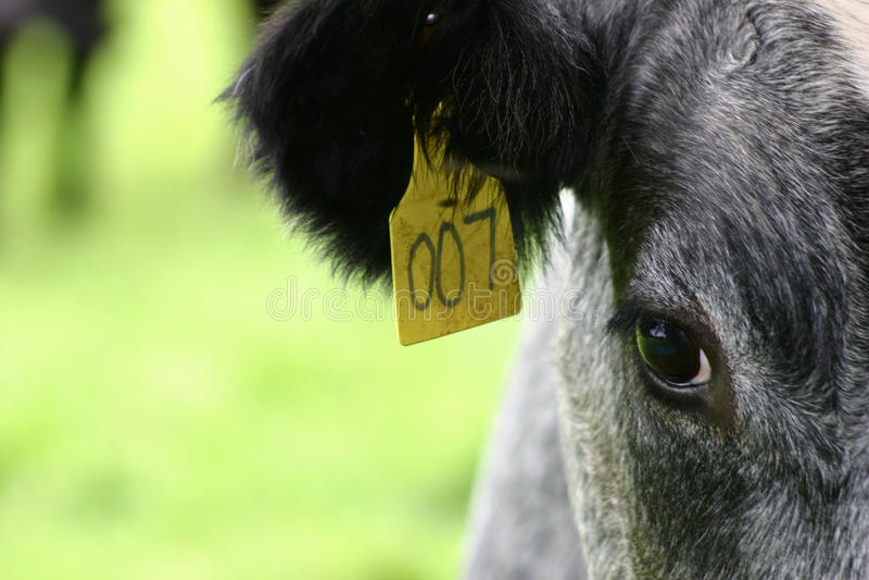 маркированная корова 007 стоковые изображения rf