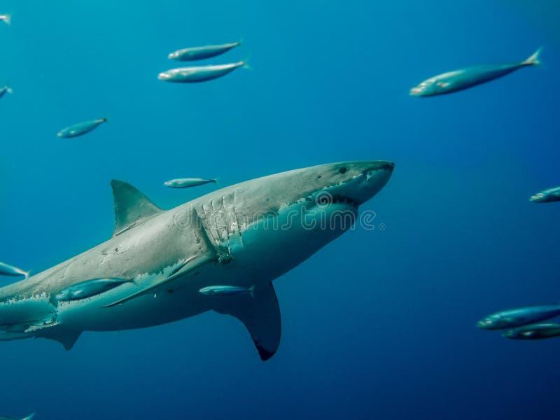 Маркированное большое заплывание белой акулы против прилива стоковое изображение