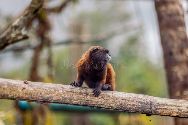 Мартышка Goeldi или обезьяна Goeldi стоковое фото