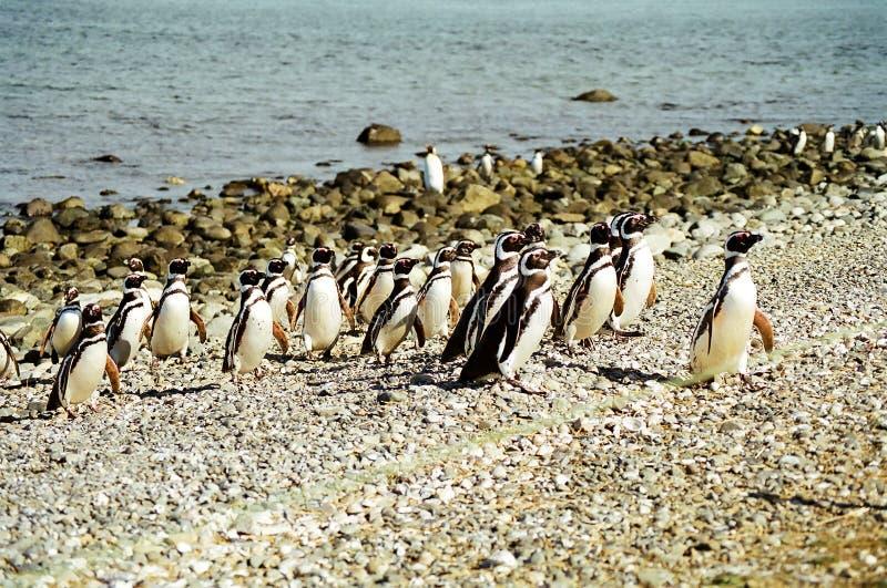 маршируя пингвины стоковые изображения rf
