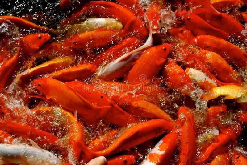 Масса выплеска рыб Koi в пруде стоковые фотографии rf