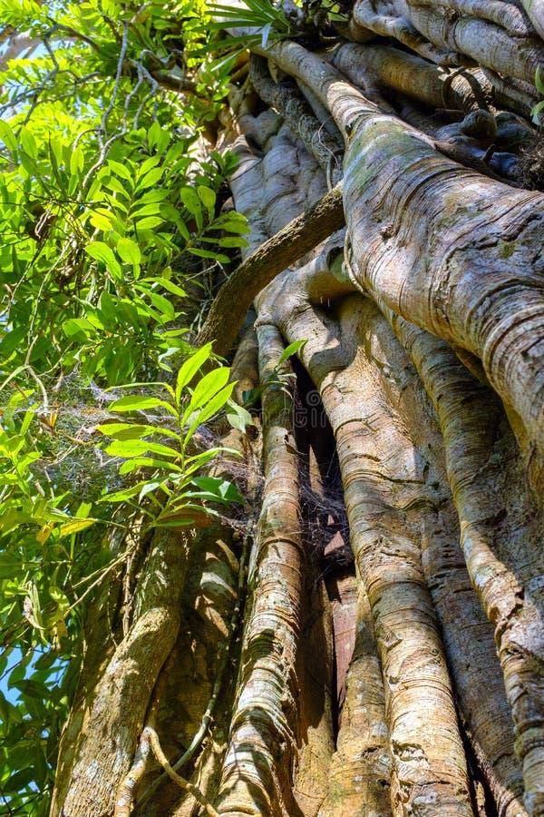Массивнейший ствол дерева при корни растя вперед стоковые изображения