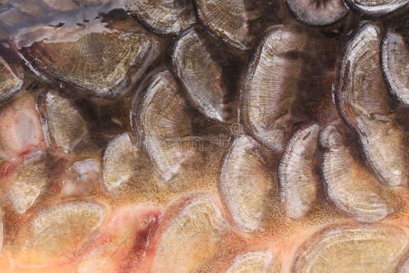 Масштабы рыб закрывают вверх стоковые изображения