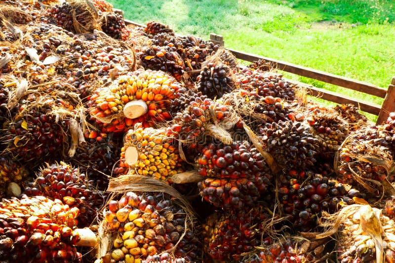 Масличная пальма стоковое изображение rf