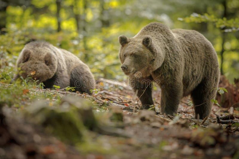 Матушка-медведь со старым детенышем стоковые изображения