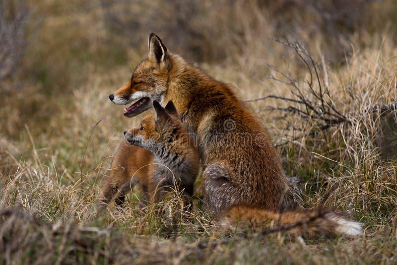 Мать и новичок Fox стоковая фотография