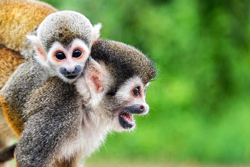 Мать и ребенок обезьяны белки стоковые фото