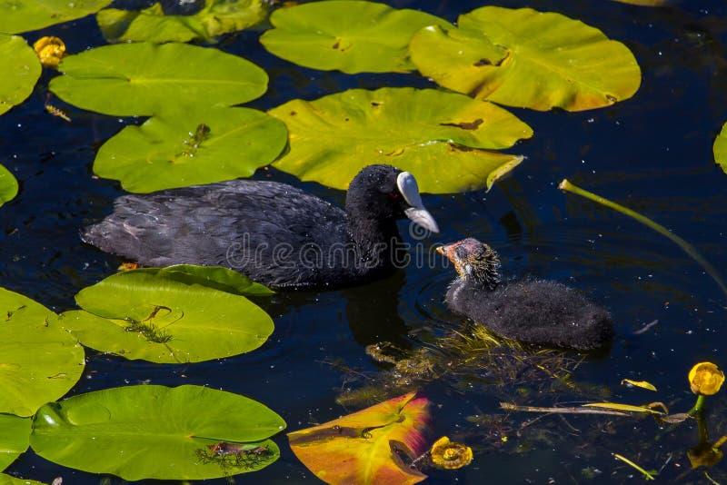 Мать и уродский ducking в пусковых площадках лилии стоковая фотография