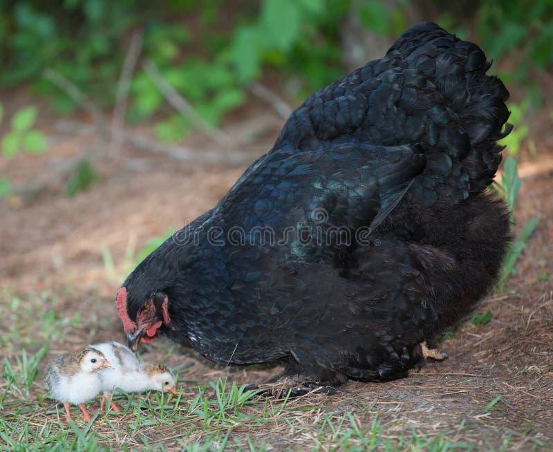 Мать и цыпленоки стоковое изображение rf