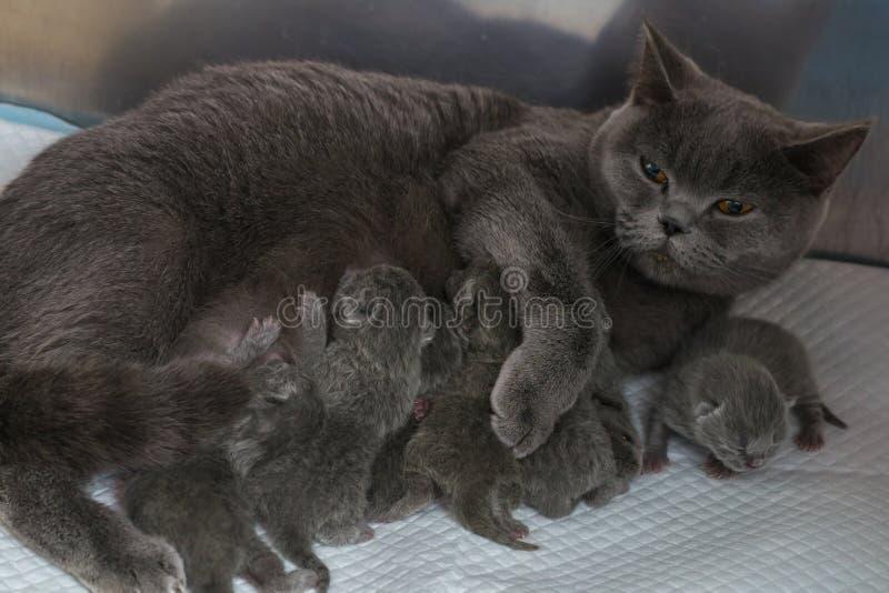 Мать кота кормить ее котят стоковое фото rf