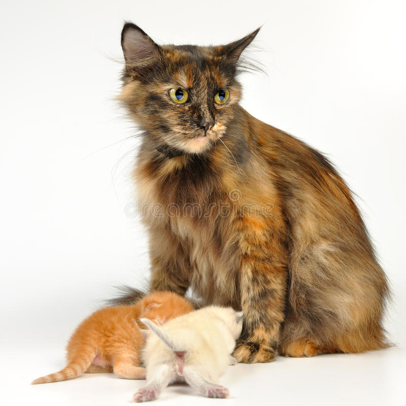 мать котят кота стоковые изображения rf