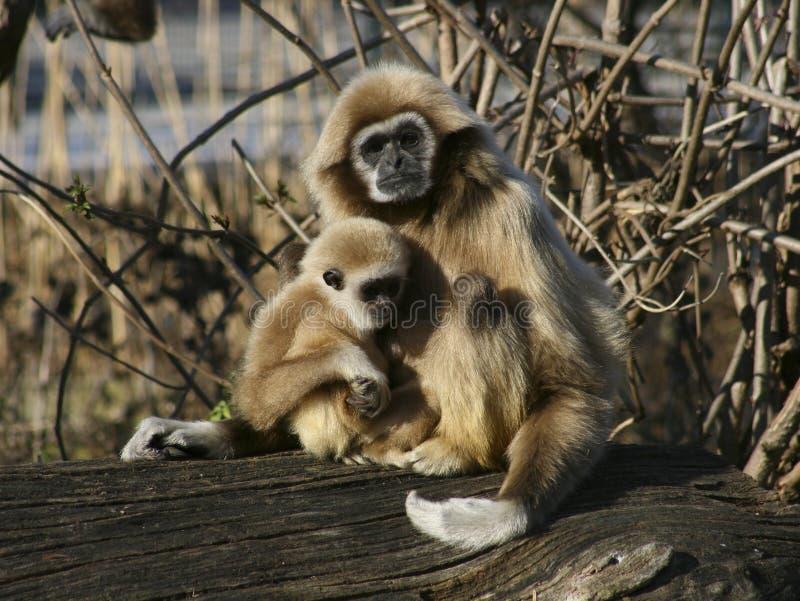 мать обезьяны ребенка стоковое фото