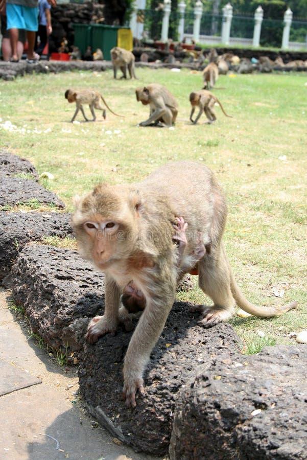 Мать обезьяны с новичком стоковая фотография rf