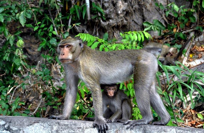 мать обезьяны челки младенца saen Таиланд стоковая фотография rf
