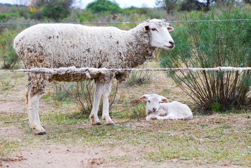 Мать овец с ее младенцем стоковое изображение