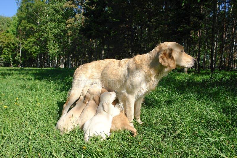 Мать подает щенята на лужайке стоковые фото