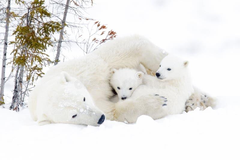 Мать полярного медведя с 2 новичками стоковое изображение rf