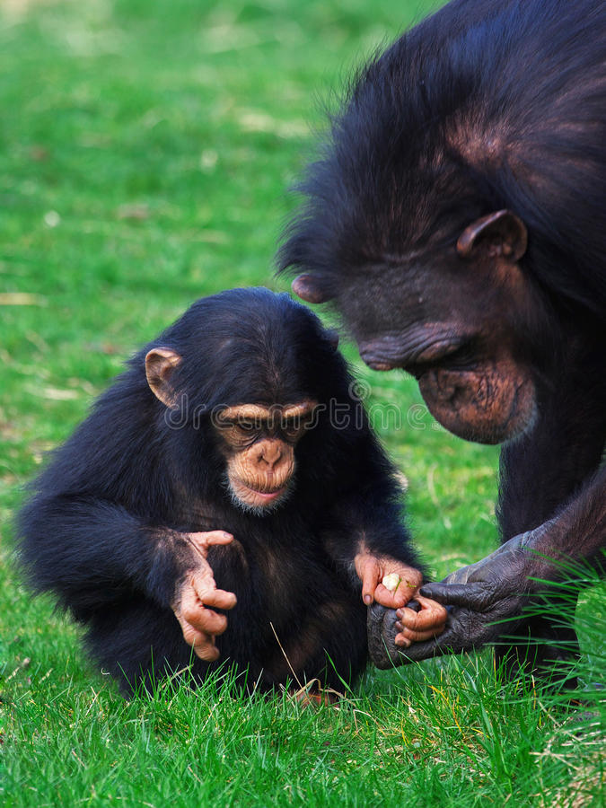 мать шимпанзеа младенца стоковая фотография rf