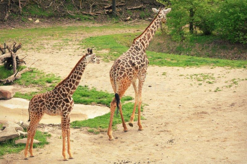 мать giraffes младенца стоковые фото