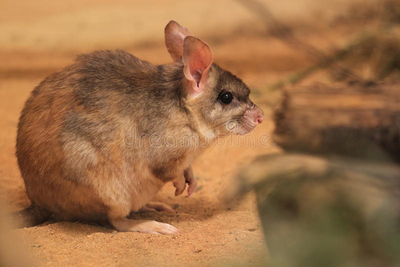 Малагасийская гигантская скача крыса стоковое фото rf