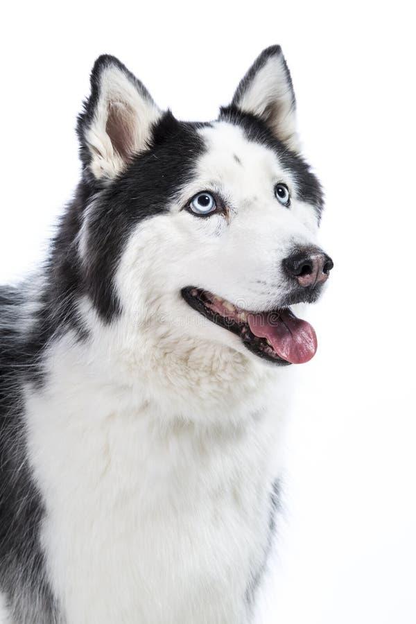 Маламут или осиплая собака изолированные на белизне стоковые изображения rf