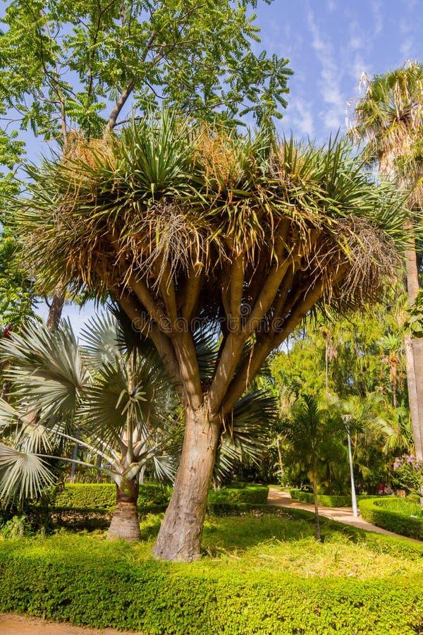 Малая ладонь (Cordyline australis) в парке стоковые фото
