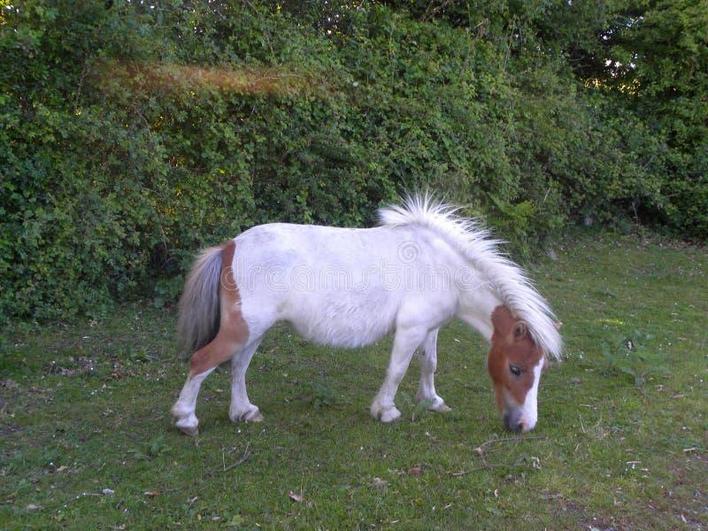 Малая белая лошадь стоковое изображение
