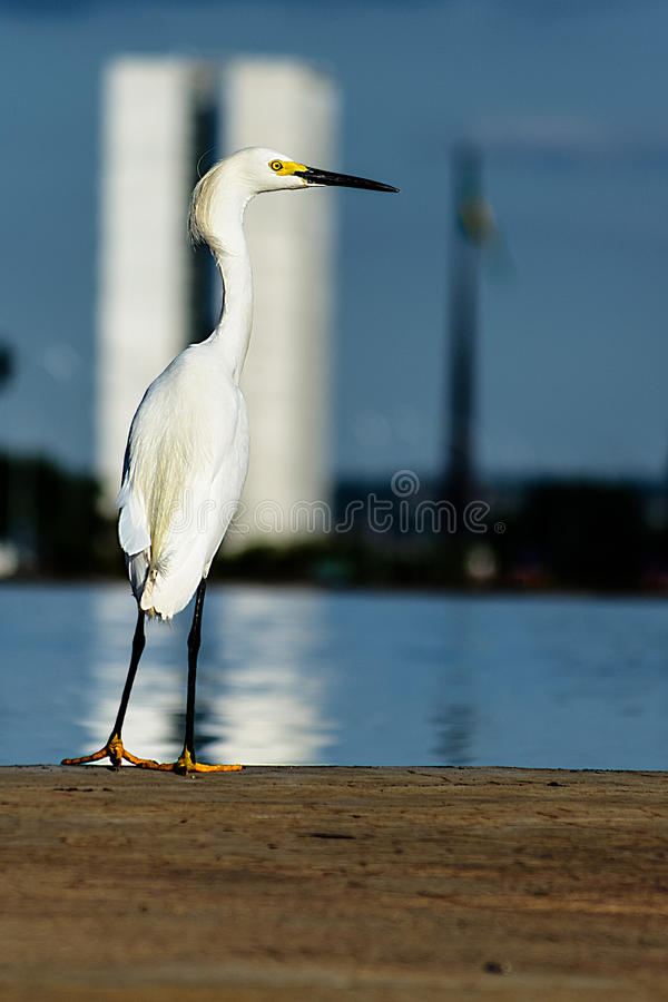 Малая белая стойка egret на национальном конгрессе в Brasilia, Бразилии стоковые изображения rf