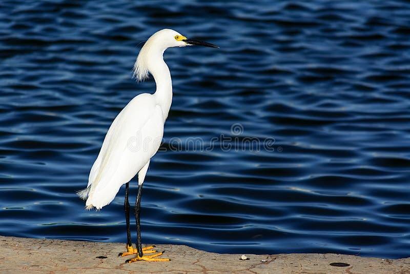 Малая белая стойка egret на озере стоковое фото rf