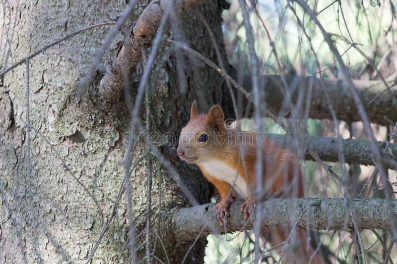 Малая белка на ветви дерева в елевом лесе на утре стоковое фото rf