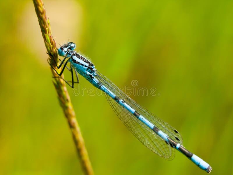 Малая голубая муха дракона на стержне стоковое фото rf