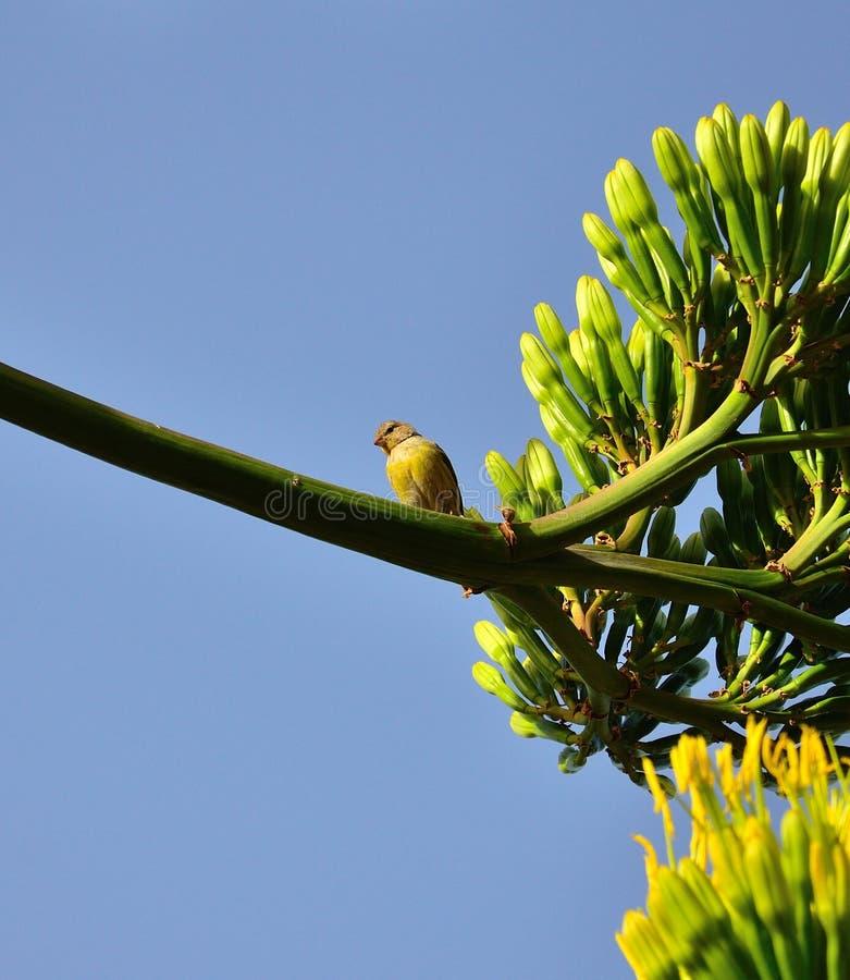 Малая канереечная птица на ветви с столетником цветет стоковое изображение