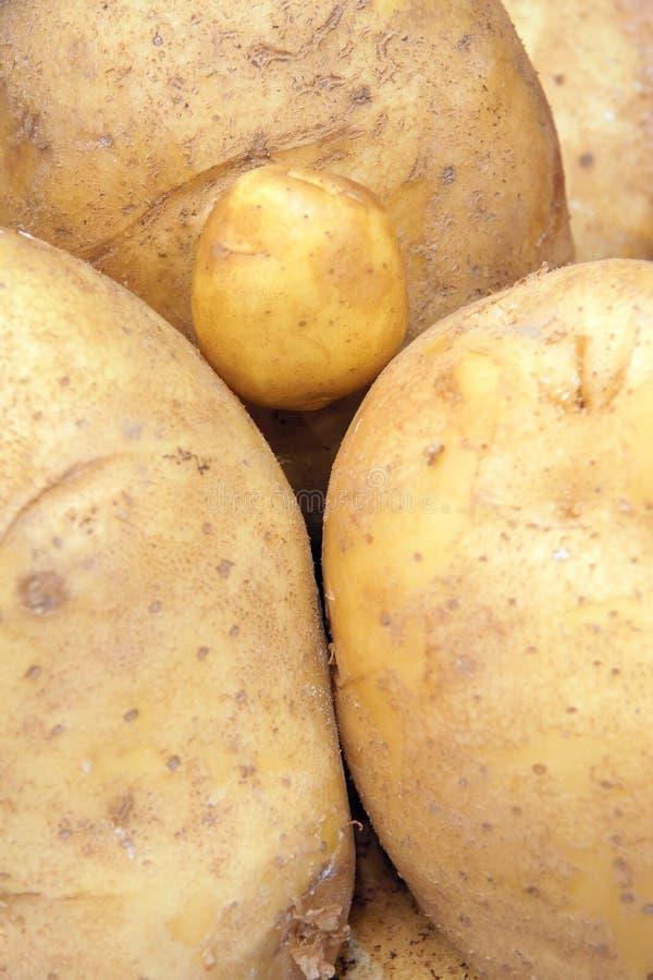 Малая картошка стоковая фотография rf