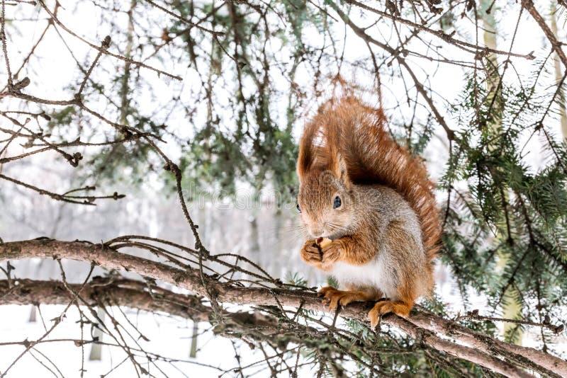 Download Малая красная белка при кустовидный кабель сидя на ветви ели, есть Стоковое Изображение - изображение насчитывающей усаживание, грызун: 81814893