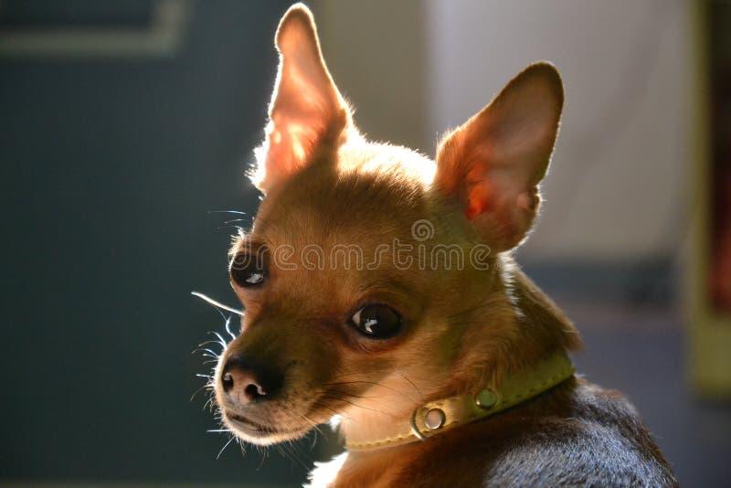 Малая порода собаки стоковые фото