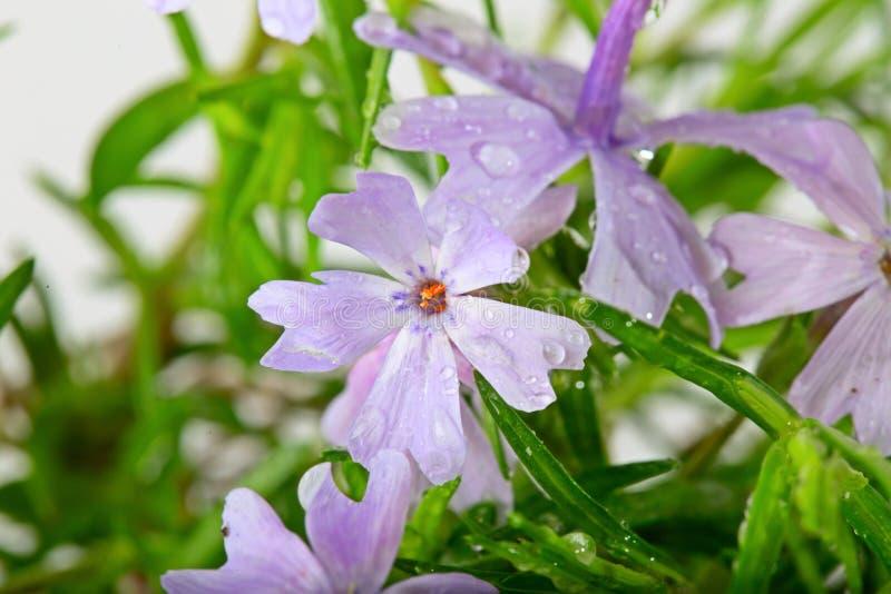 Малая сирень цветет с падениями воды на белой предпосылке стоковое фото