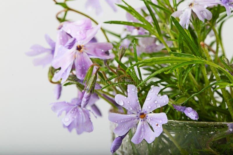 Малая сирень цветет с падениями воды на белой предпосылке стоковые изображения rf