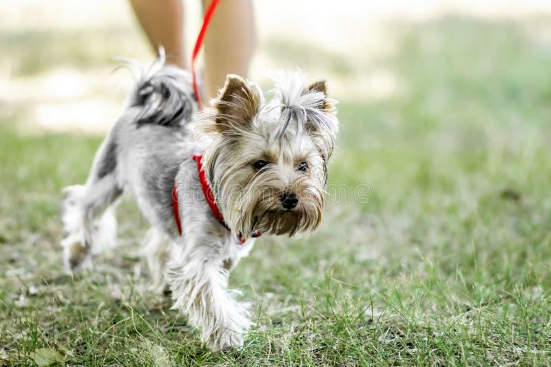 Малая собака йоркширского терьера на прогулке со своим предпринимателем на летнем дне стоковые фотографии rf