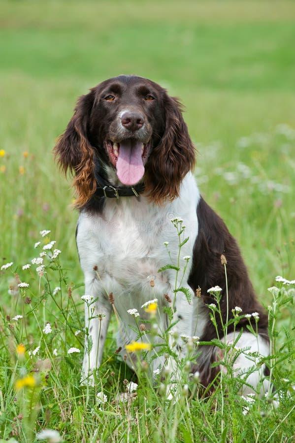 Малая собака munsterlander стоковое изображение