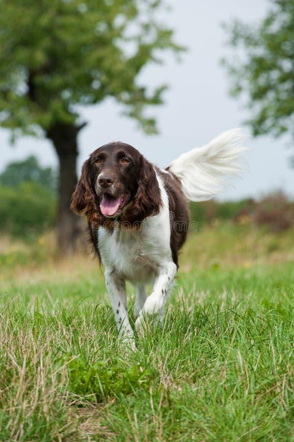 Малая собака munsterlander стоковое изображение rf