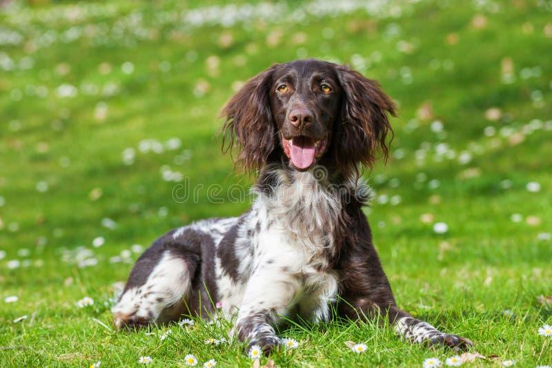 Малая собака munsterlander стоковое фото