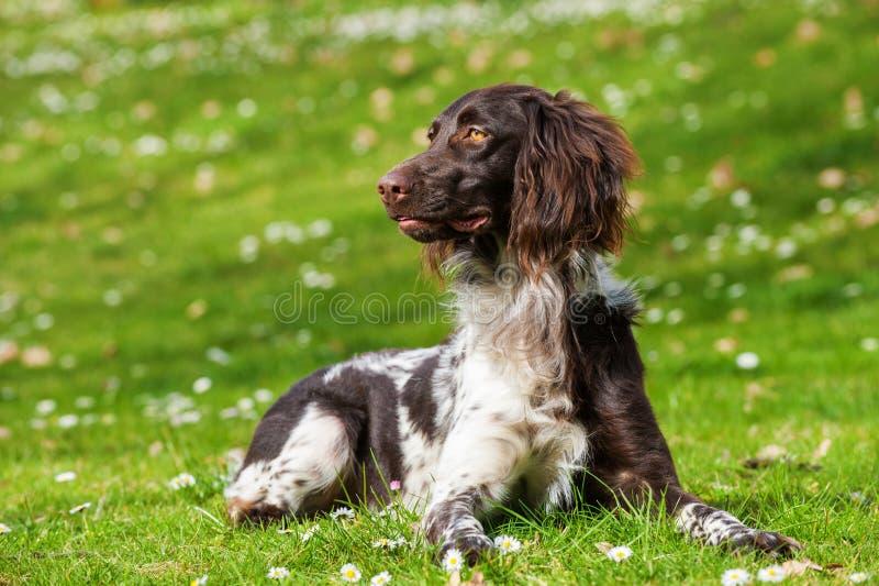 Малая собака munsterlander стоковые фото