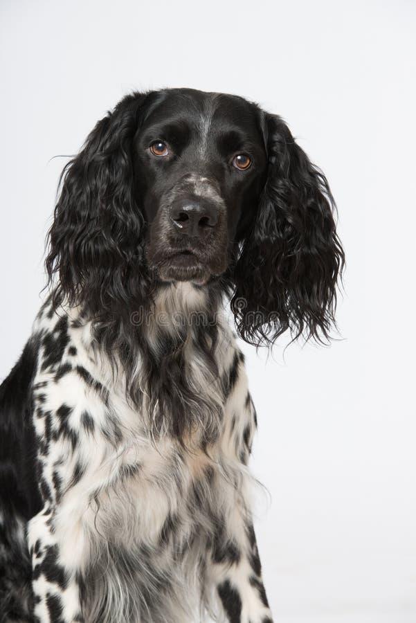 Малая собака munsterlander стоковые изображения rf