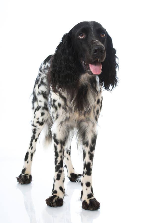 Малая собака munsterlander стоковая фотография