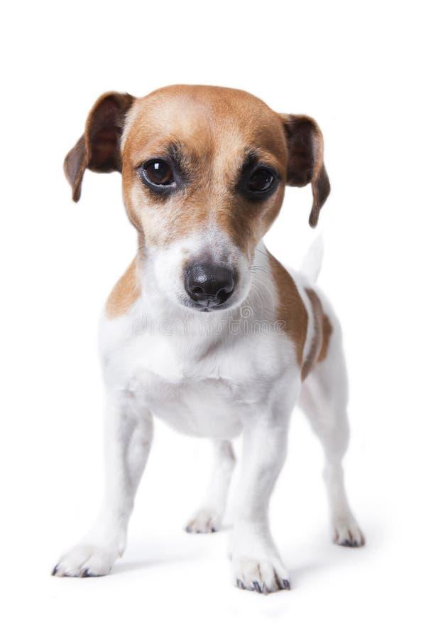 Малая умная собака стоковая фотография